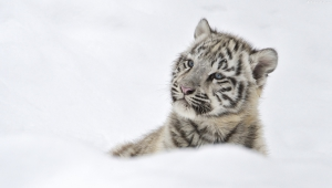 White Tiger Cubs In Snow