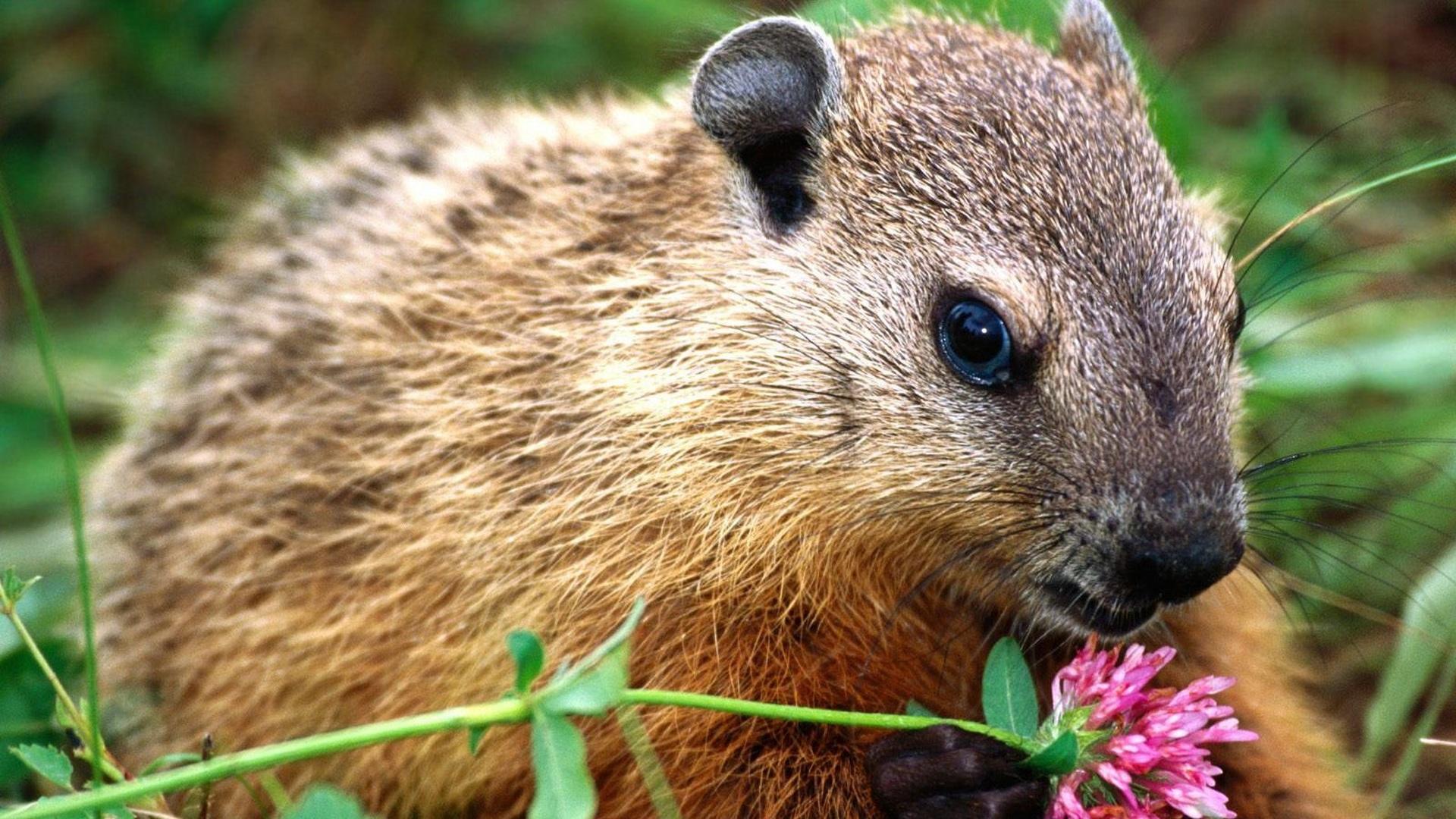 Beaver High Definition