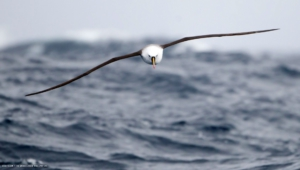 Albatross Photos