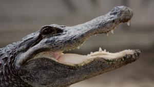 Alligator 4K