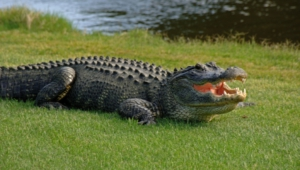 Alligator High Definition Wallpapers