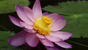 Lotus Flower Hd Background