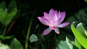 Lotus Flower Hd Desktop