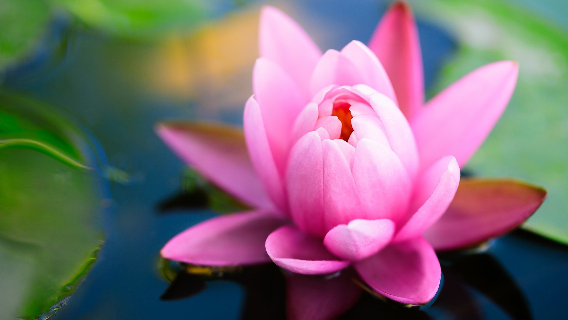 Lotus Flower High Resolution Photos Flowers Healthy