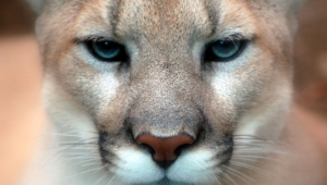 Cougar Hd Desktop