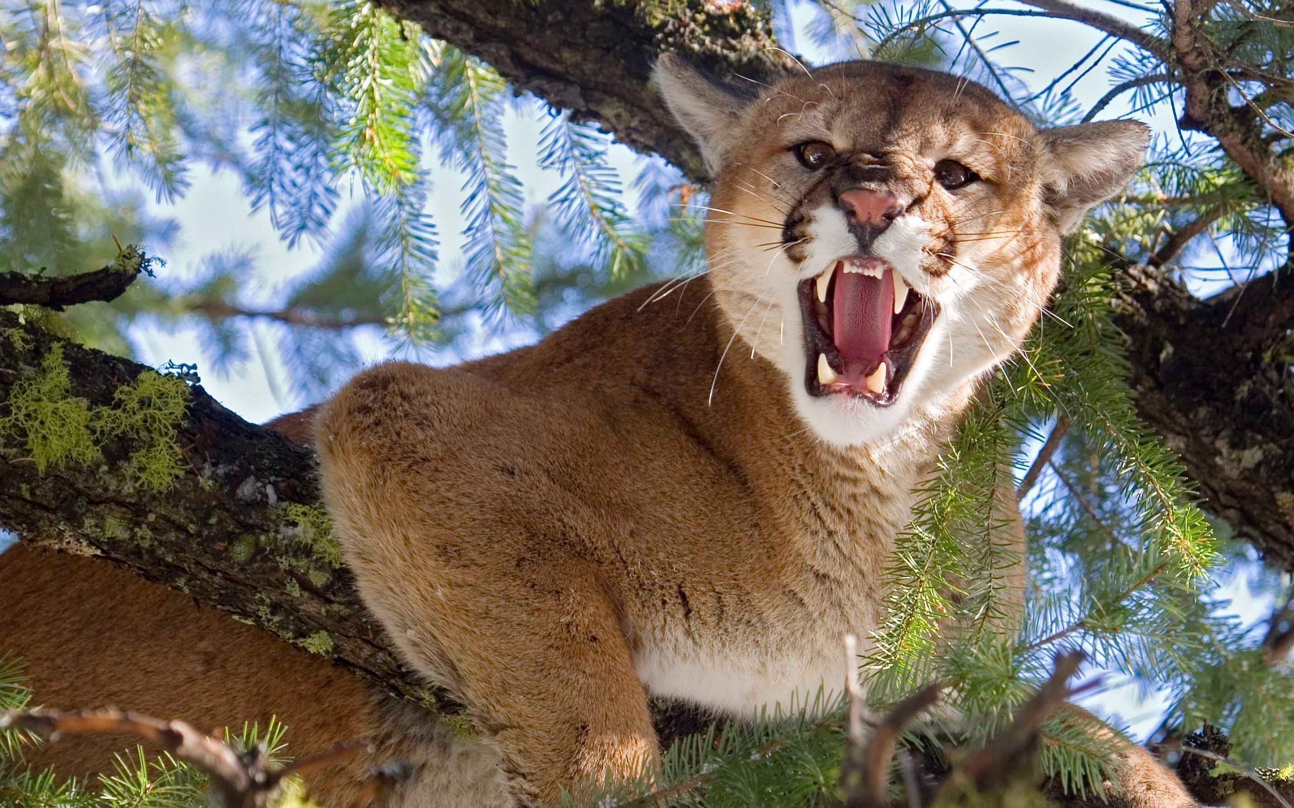 Cougar Wallpapers Hq