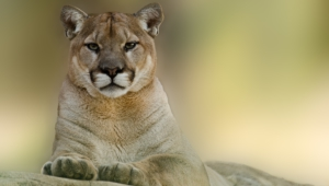 Cougar Full Hd
