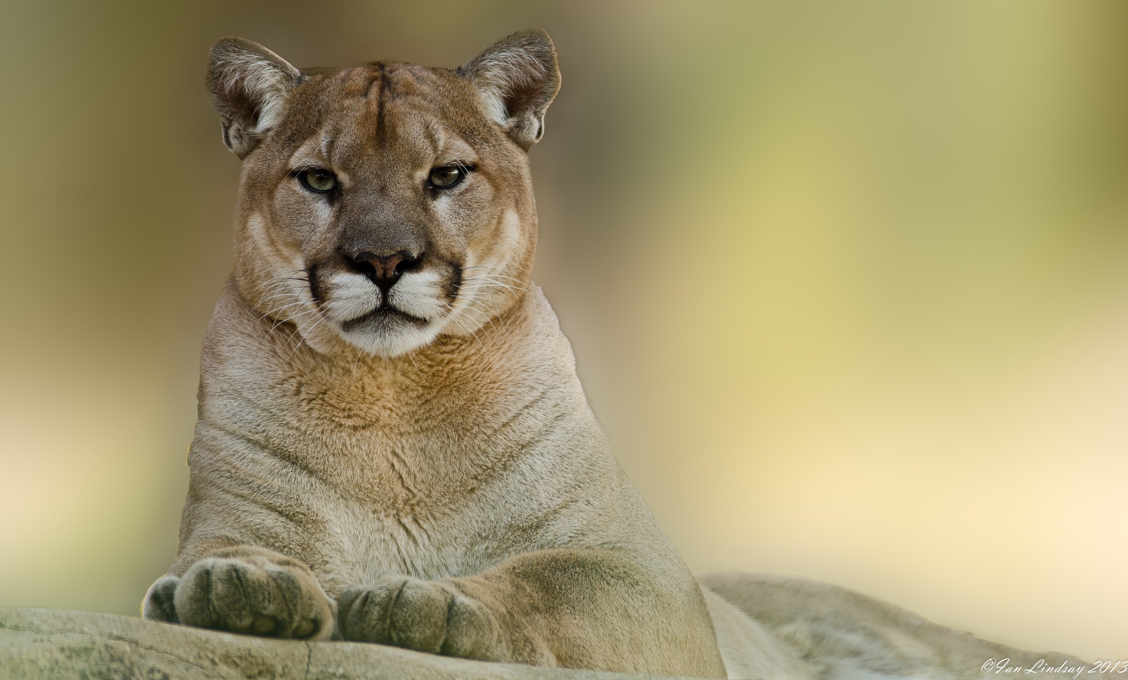 Cougar Wallpapers Images Photos Pictures Backgrounds