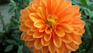 Dahlia Wallpapers HD