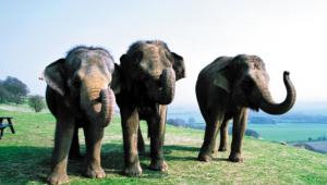 Elephant Hd Background