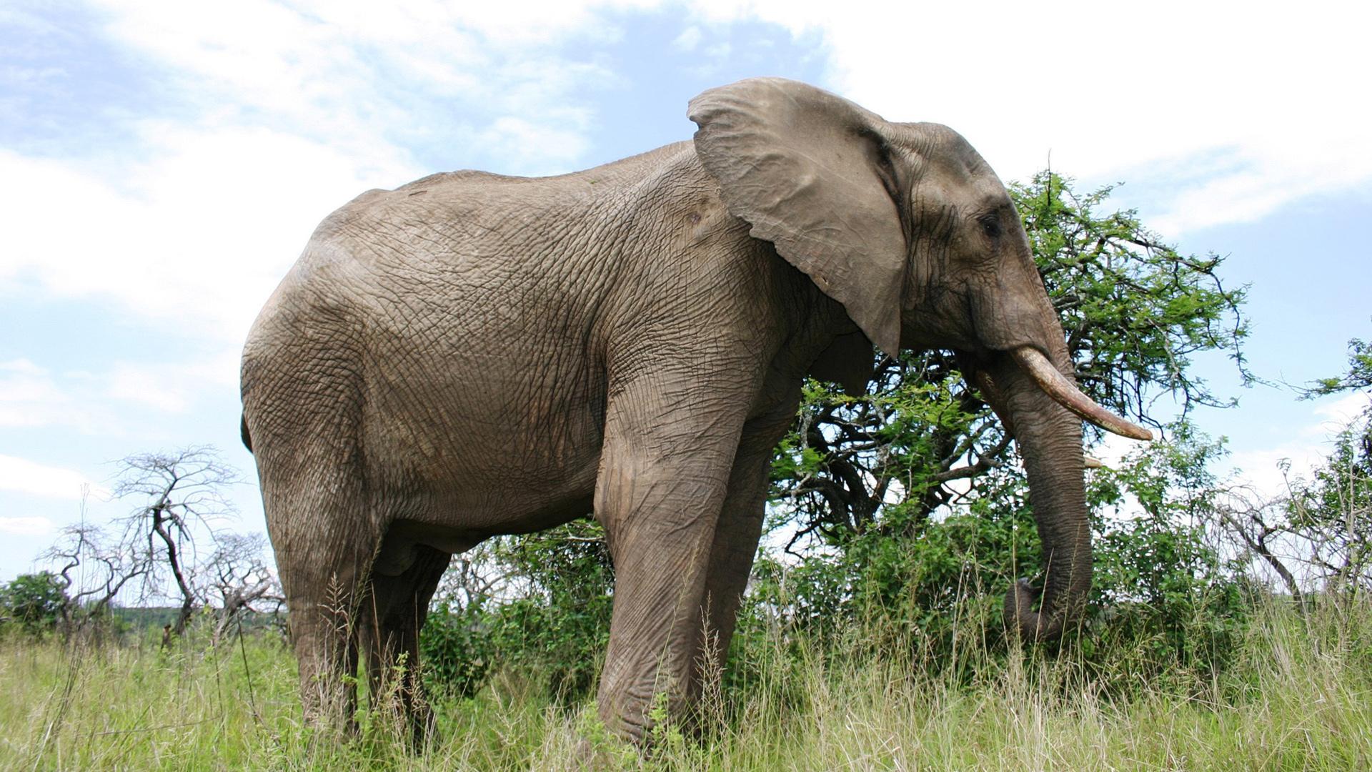 Elephant Wallpapers Im...