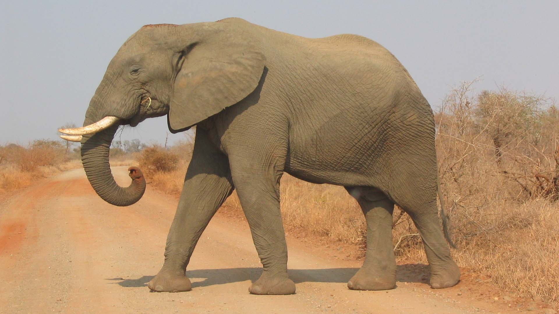 a reaction to shooting an elephant Shooting an elephant is a striking example of how a government official uses the language of narration to convey political ideas what political ideas does orwell convey how does he convey them is his message conveyed directly or indirectly explain.