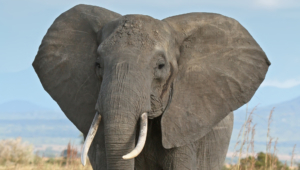 Elephant Widescreen