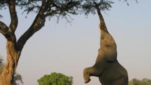 Elephant For Desktop