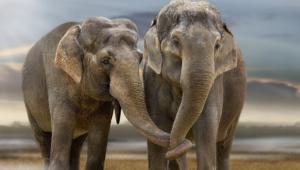 Elephant For Desktop Background