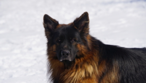 German Shepherd High Quality Wallpapers