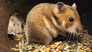 Hamster Hd Wallpaper