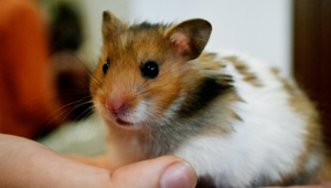 Hamster For Desktop