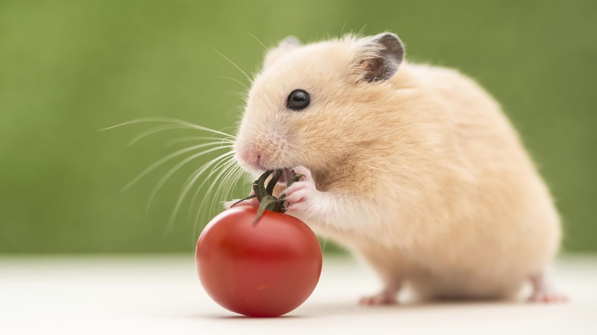 Hamster Full Hd