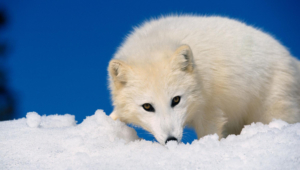 Arctic Fox 4k