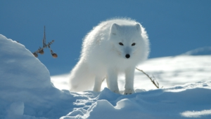 Arctic Fox Background