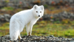 Arctic Fox Hd