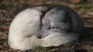Arctic Fox Hd Background