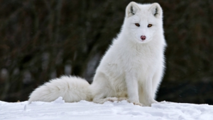 Arctic Fox Photos