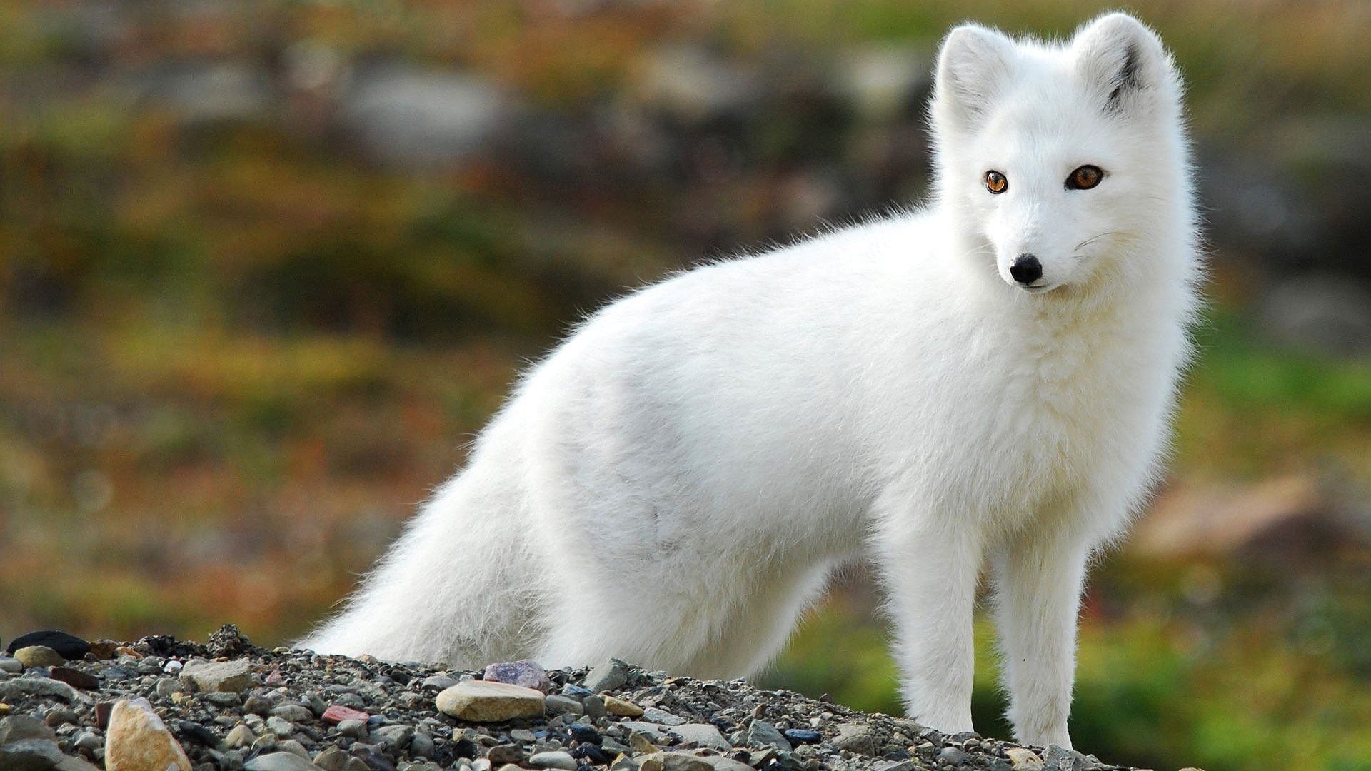 Arctic Fox Wallpapers Images Photos Pictures Backgrounds