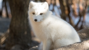 Arctic Fox For Desktop
