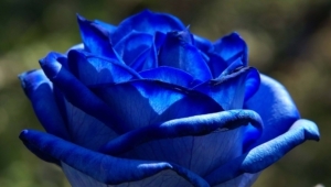 Blue Rose Computer Wallpaper