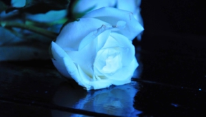 Blue Rose Photos
