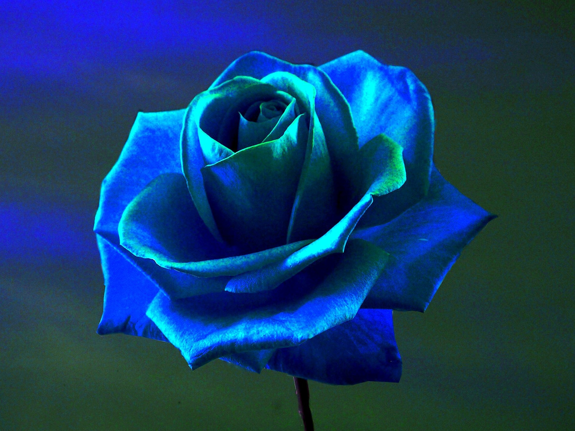 Blue Rose Wallpapers Images Photos Pictures Backgrounds