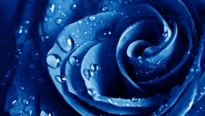 Blue Rose Wallpapers Hd