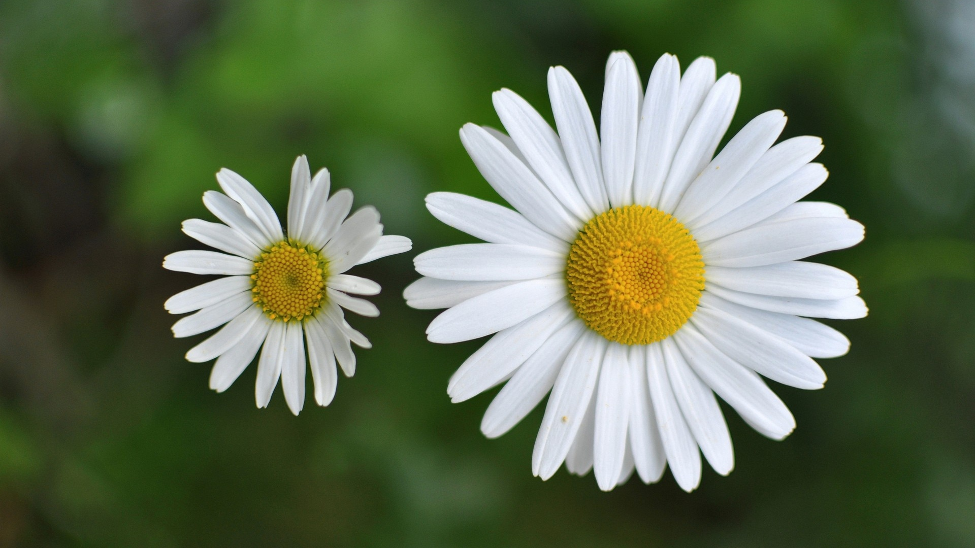 Chamomile Computer Backgrounds