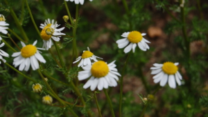 Chamomile Download