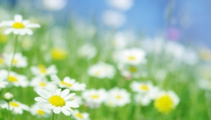 Chamomile Widescreen
