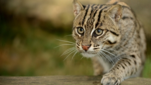 Fishing Cat Background