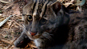 Fishing Cat High Definition