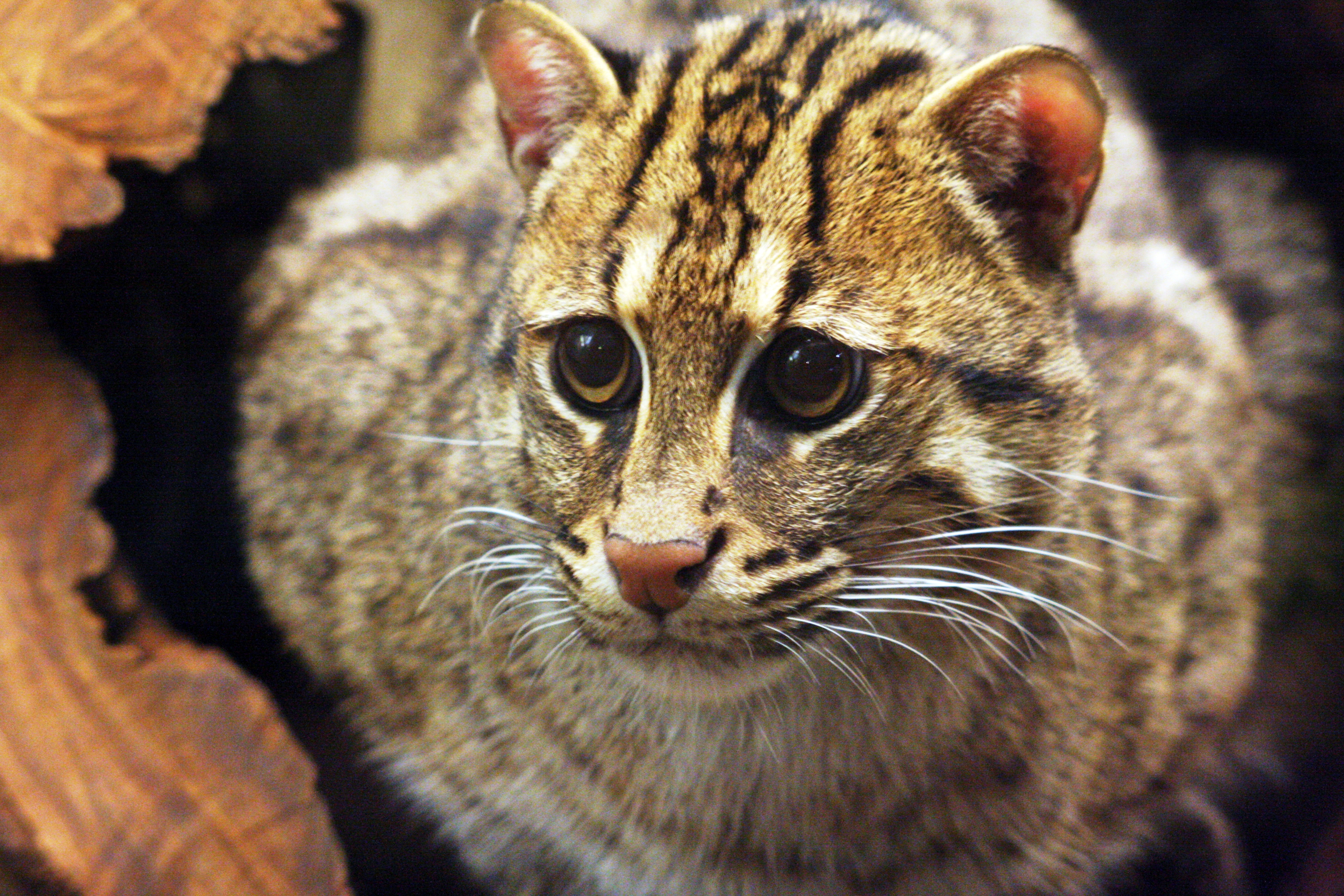 Fishing Cat Images