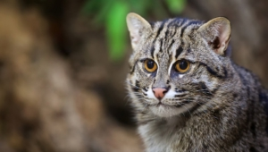 Fishing Cat Photos