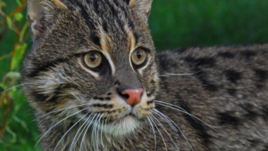 Fishing Cat Wallpaper