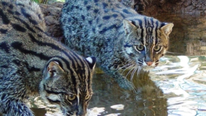 Fishing Cat Widescreen