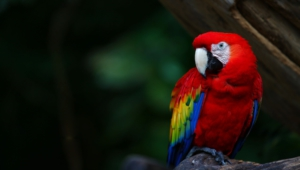 Macaw For Desktop Background