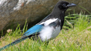 Magpie Background