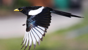 Magpie Download