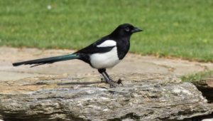 Magpie Hd Wallpaper