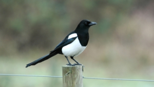 Magpie High Definition