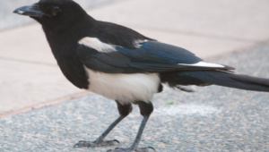 Magpie Full Hd