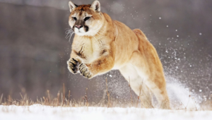Mountain Lion Background